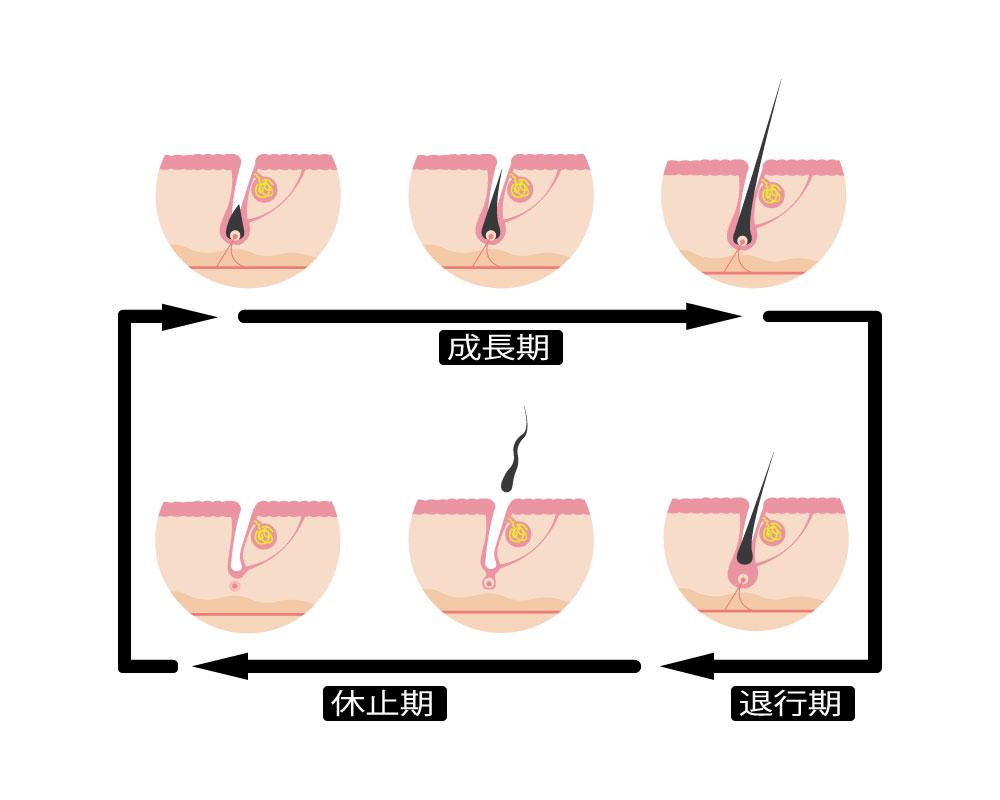 毛周期(もうしゅうき)